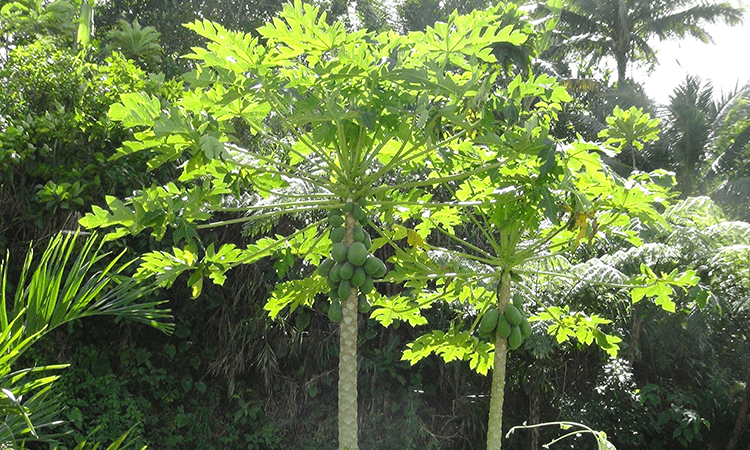 グリーンパパイヤの木