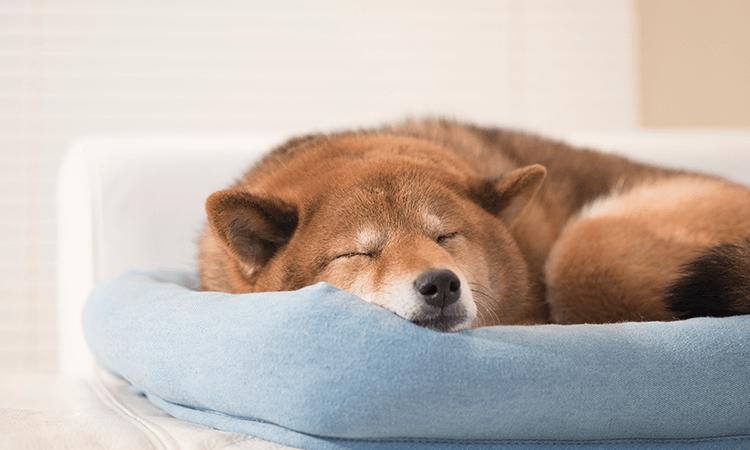 柴犬の特徴