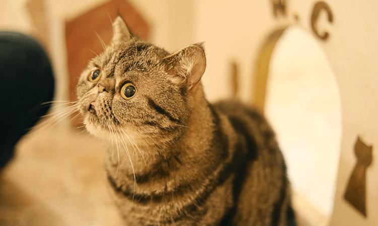 猫種の特徴