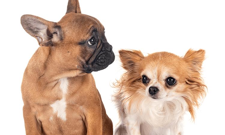 菅谷鈴ブリーダーの犬種、猫種の特徴