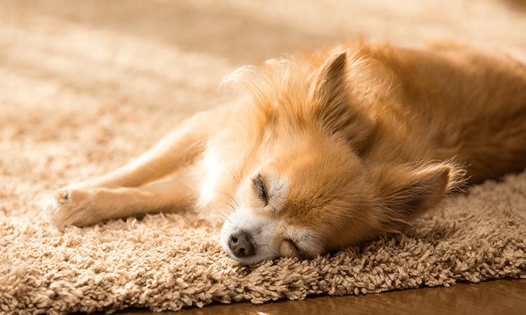 谷川望ブリーダーの取り扱い犬種の特徴