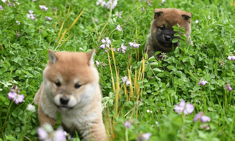 柴田義隆ブリーダー取り扱い犬種の特徴